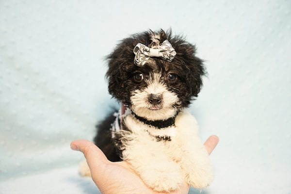 Ralph Lauren - Teacup Maltipoo Puppy Found his New Loving Home with Mellisa from NY 11207-23444