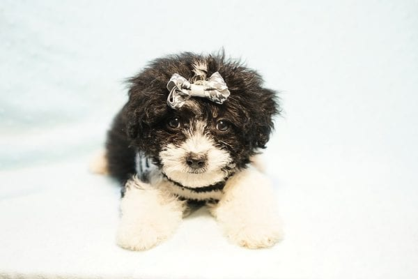 Ralph Lauren - Teacup Maltipoo Puppy Found his New Loving Home with Mellisa from NY 11207-23446