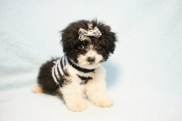 Ralph Lauren - Teacup Maltipoo Puppy Found his New Loving Home with Mellisa from NY 11207-23447