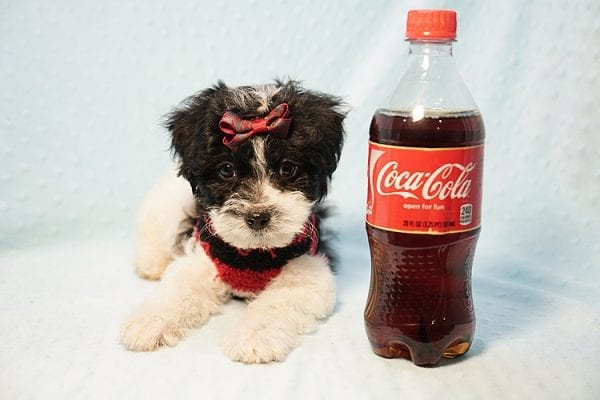 Roberto Cavalli - Teacup Maltipoo Puppy has found a good loving home with Amber in Las Vegas, NV.-23459