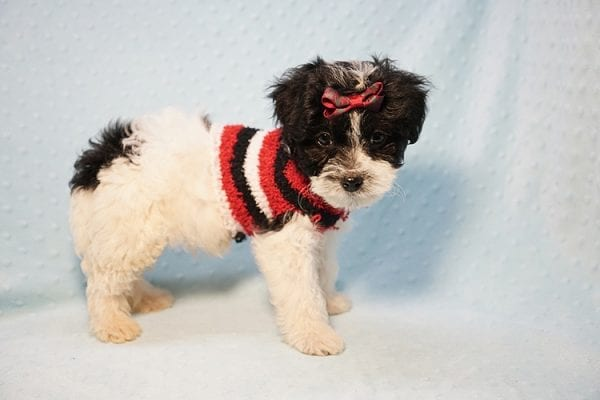 Roberto Cavalli - Teacup Maltipoo Puppy has found a good loving home with Amber in Las Vegas, NV.-23458