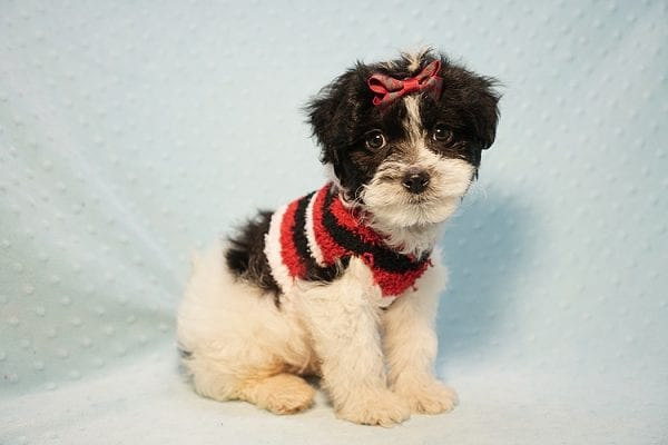 Roberto Cavalli - Teacup Maltipoo Puppy has found a good loving home with Amber in Las Vegas, NV.-23461