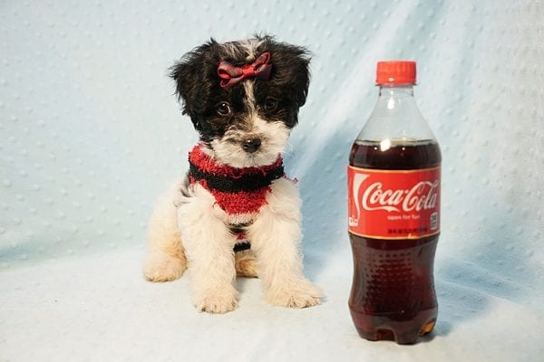 Roberto Cavalli - Teacup Maltipoo Puppy has found a good loving home with Amber in Las Vegas, NV.-0