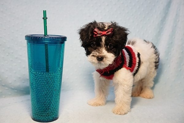 Roberto Cavalli - Teacup Maltipoo Puppy has found a good loving home with Amber in Las Vegas, NV.-23454