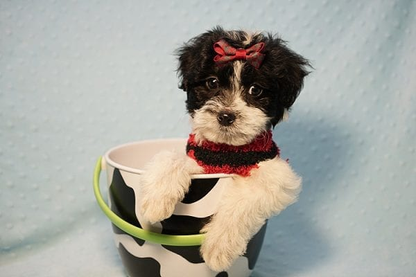 Roberto Cavalli - Teacup Maltipoo Puppy has found a good loving home with Amber in Las Vegas, NV.-23455