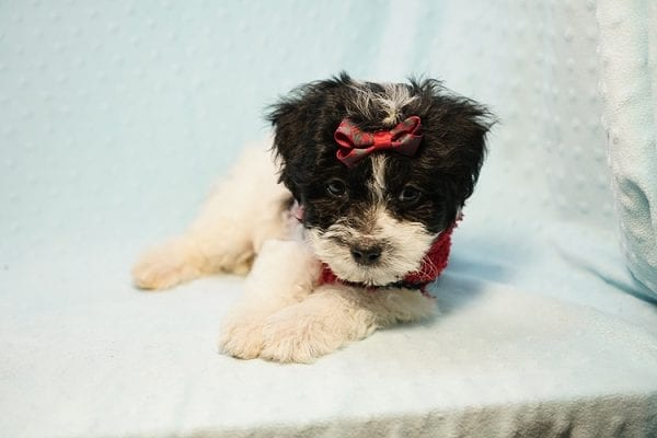Roberto Cavalli - Teacup Maltipoo Puppy has found a good loving home with Amber in Las Vegas, NV.-23460
