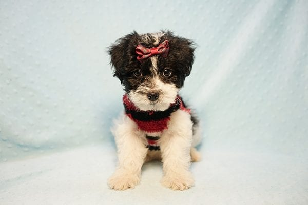 Roberto Cavalli - Teacup Maltipoo Puppy has found a good loving home with Amber in Las Vegas, NV.-23456