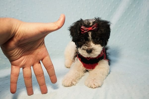 Roberto Cavalli - Teacup Maltipoo Puppy has found a good loving home with Amber in Las Vegas, NV.-23457