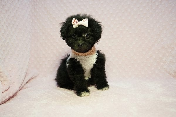 Scarlet O'Harra - Teacup Maltipoo Puppy Found Her New Loving Home with Karen from Northwalk CA 90650-23463