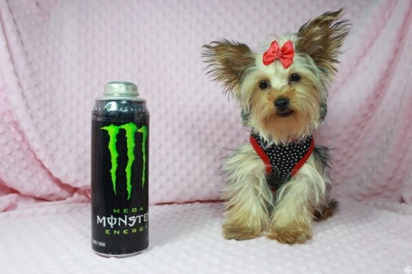Taylor Swift - Teacup Yorkie Puppy has found a good loving home with Tianna from Lake Havaso, AZ 86406-23638