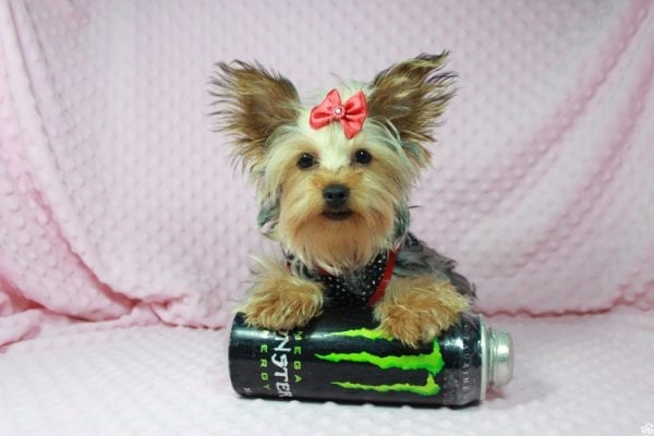 Taylor Swift - Teacup Yorkie Puppy has found a good loving home with Tianna from Lake Havaso, AZ 86406-23639