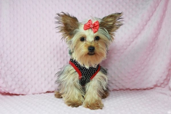 Taylor Swift - Teacup Yorkie Puppy has found a good loving home with Tianna from Lake Havaso, AZ 86406-23635