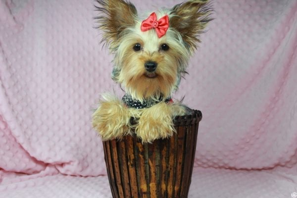 Taylor Swift - Teacup Yorkie Puppy has found a good loving home with Tianna from Lake Havaso, AZ 86406-23634