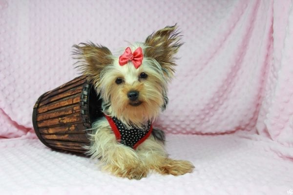 Taylor Swift - Teacup Yorkie Puppy has found a good loving home with Tianna from Lake Havaso, AZ 86406-0