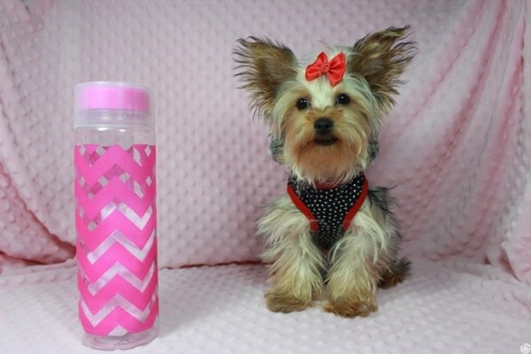 Taylor Swift - Teacup Yorkie Puppy has found a good loving home with Tianna from Lake Havaso, AZ 86406-23637