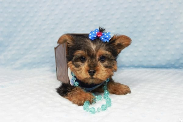 Winnipeg - Teacup Yorkie Puppy has found a good loving home with Dawn from Las Vegas, NV.-23358