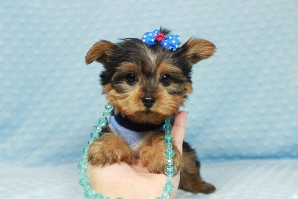 Winnipeg - Teacup Yorkie Puppy has found a good loving home with Dawn from Las Vegas, NV.-23359