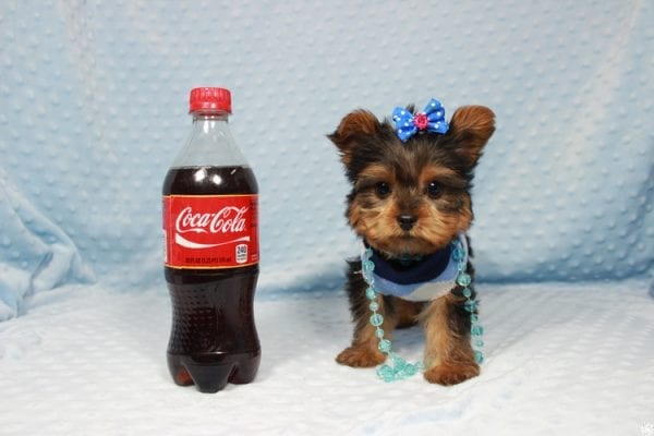 Winnipeg - Teacup Yorkie Puppy has found a good loving home with Dawn from Las Vegas, NV.-0