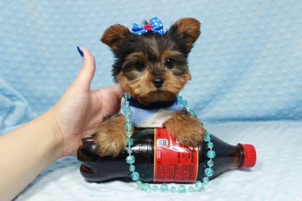 Winnipeg - Teacup Yorkie Puppy has found a good loving home with Dawn from Las Vegas, NV.-23356