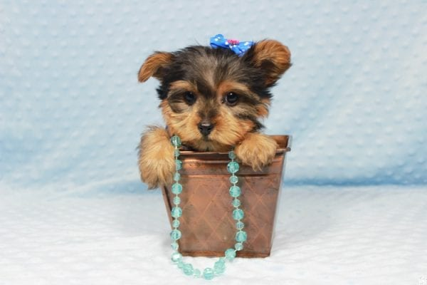 Winnipeg - Teacup Yorkie Puppy has found a good loving home with Dawn from Las Vegas, NV.-23355