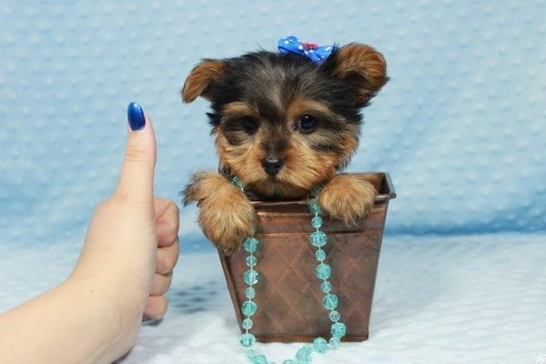 Winnipeg - Teacup Yorkie Puppy has found a good loving home with Dawn from Las Vegas, NV.-23357