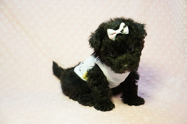 Candy - Teacup Maltipoo Puppy found a loving home with Caryn S from Moorpark CA 93021-23844