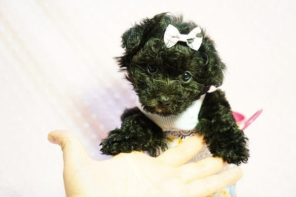 Candy - Teacup Maltipoo Puppy found a loving home with Caryn S from Moorpark CA 93021-23846
