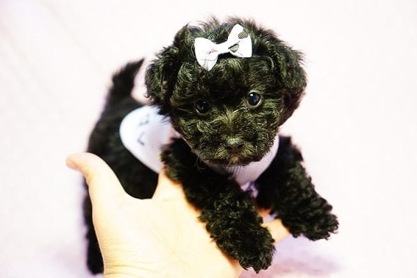 Candy - Teacup Maltipoo Puppy found a loving home with Caryn S from Moorpark CA 93021-0