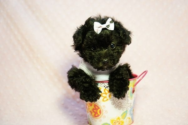 Candy - Teacup Maltipoo Puppy found a loving home with Caryn S from Moorpark CA 93021-23838