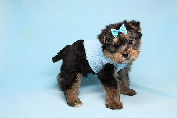 Charlie - Teacup Yorkie Puppy has found a good loving home with Claudia from Panorama City, CA 91402-27726