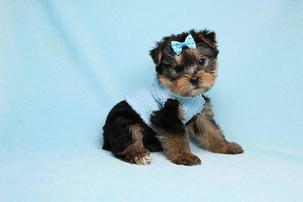 Charlie - Teacup Yorkie Puppy has found a good loving home with Claudia from Panorama City, CA 91402-27725
