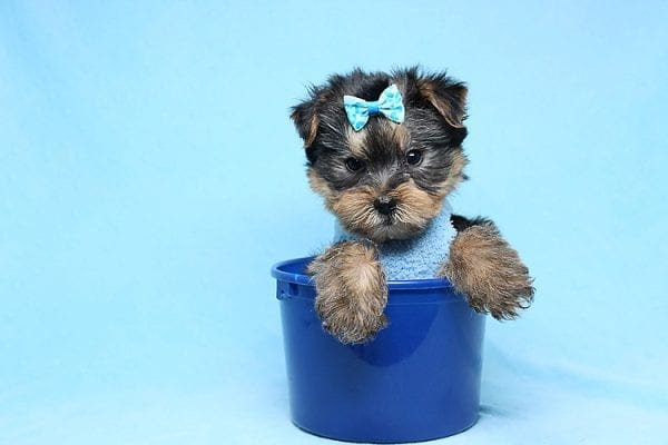 Charlie - Teacup Yorkie Puppy has found a good loving home with Claudia from Panorama City, CA 91402-27727