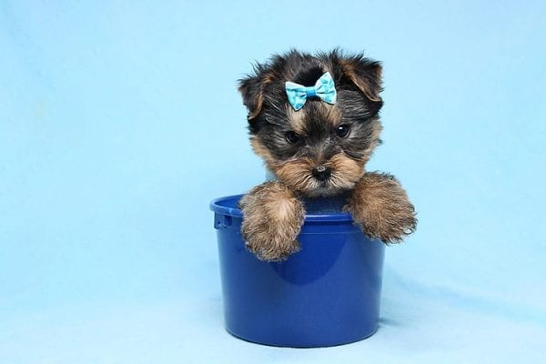 Charlie - Teacup Yorkie Puppy has found a good loving home with Claudia from Panorama City, CA 91402-0