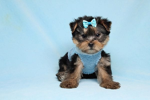 Charlie - Teacup Yorkie Puppy has found a good loving home with Claudia from Panorama City, CA 91402-27719