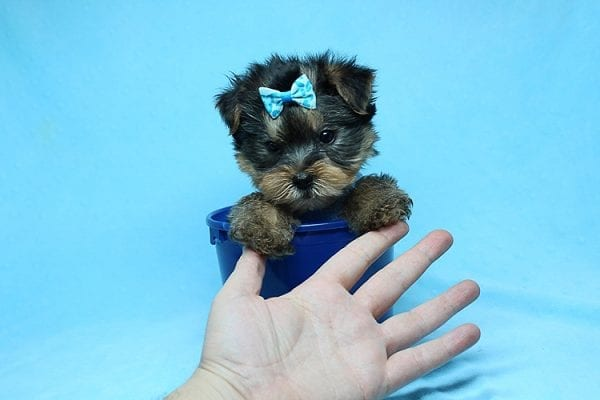 Charlie - Teacup Yorkie Puppy has found a good loving home with Claudia from Panorama City, CA 91402-27729