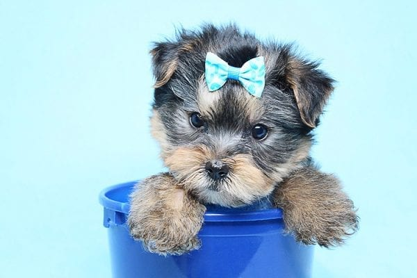 Charlie - Teacup Yorkie Puppy has found a good loving home with Claudia from Panorama City, CA 91402-27730