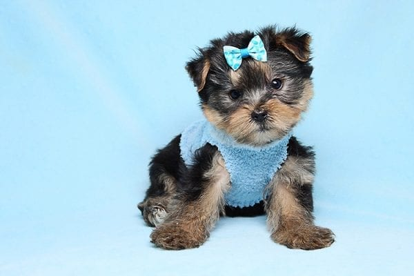 Charlie - Teacup Yorkie Puppy has found a good loving home with Claudia from Panorama City, CA 91402-27721