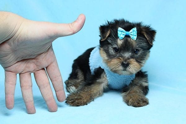 Charlie - Teacup Yorkie Puppy has found a good loving home with Claudia from Panorama City, CA 91402-27723