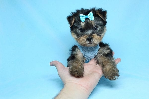 Charlie - Teacup Yorkie Puppy has found a good loving home with Claudia from Panorama City, CA 91402-27722