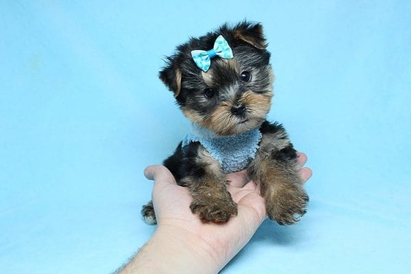 Charlie - Teacup Yorkie Puppy has found a good loving home with Claudia from Panorama City, CA 91402-27724