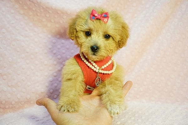 Charlotte Riley - Teacup Maltipoo Found Her New Loving Home with Carrie from San Francisco CA 94118-23954
