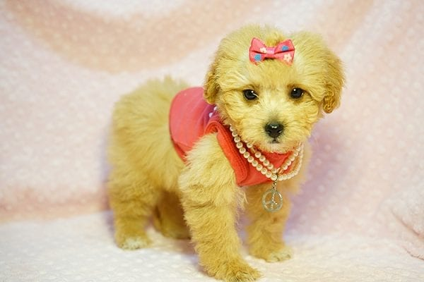 Charlotte Riley - Teacup Maltipoo Found Her New Loving Home with Carrie from San Francisco CA 94118-23952