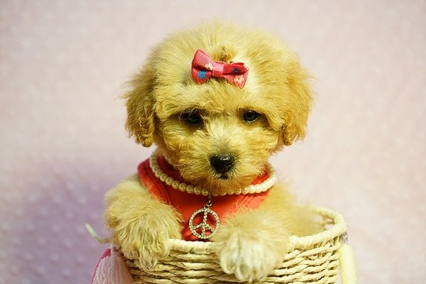 Charlotte Riley - Teacup Maltipoo Found Her New Loving Home with Carrie from San Francisco CA 94118-23957