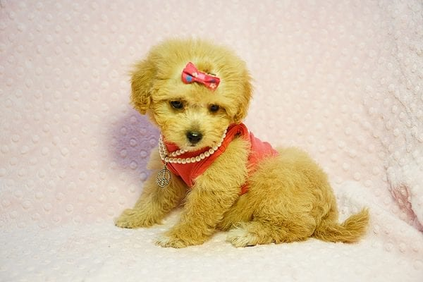 Charlotte Riley - Teacup Maltipoo Found Her New Loving Home with Carrie from San Francisco CA 94118-23953