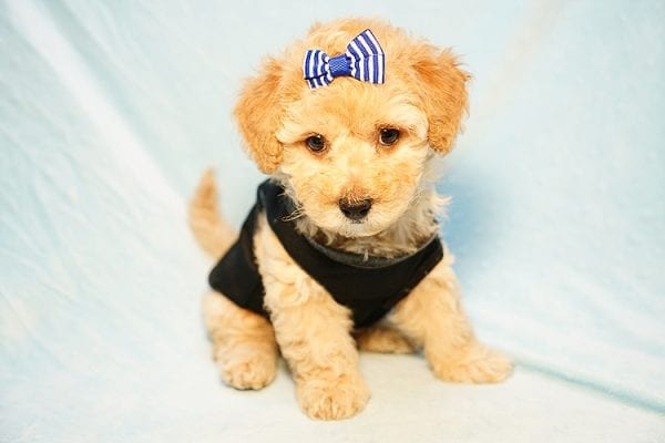 Cinamon Roll - Toy Maltipoo Puppy Found His New Loving Home with Saloni from Los Angeles CA 90010-23769