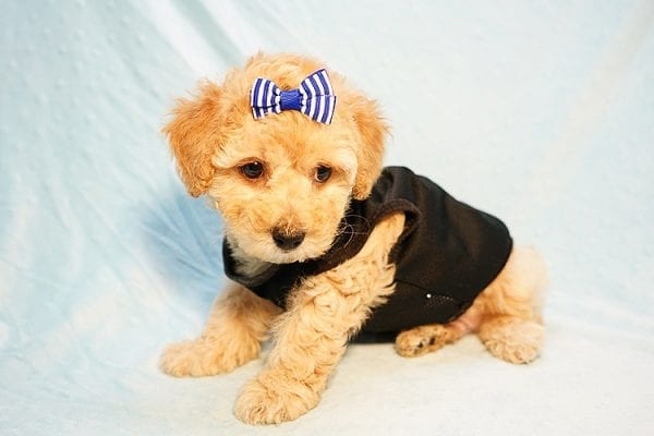 Cinamon Roll - Toy Maltipoo Puppy Found His New Loving Home with Saloni from Los Angeles CA 90010-23773