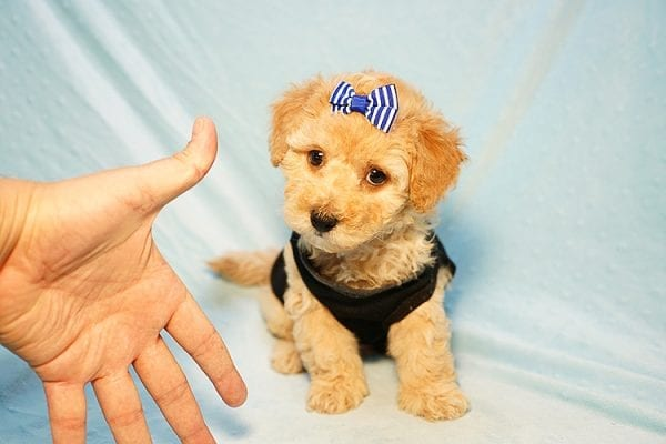 Cinamon Roll - Toy Maltipoo Puppy Found His New Loving Home with Saloni from Los Angeles CA 90010-23775