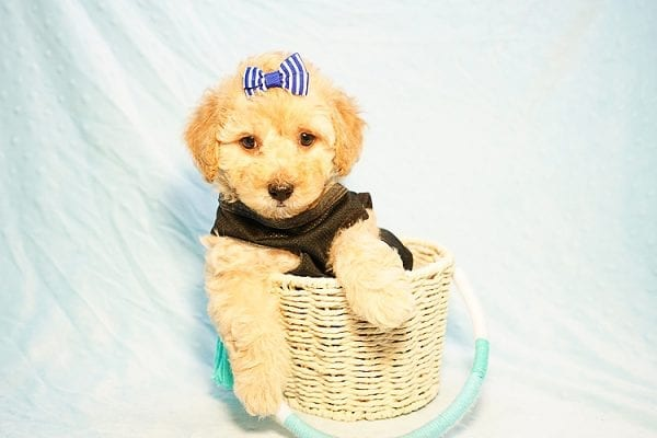 Cinamon Roll - Toy Maltipoo Puppy Found His New Loving Home with Saloni from Los Angeles CA 90010-23778
