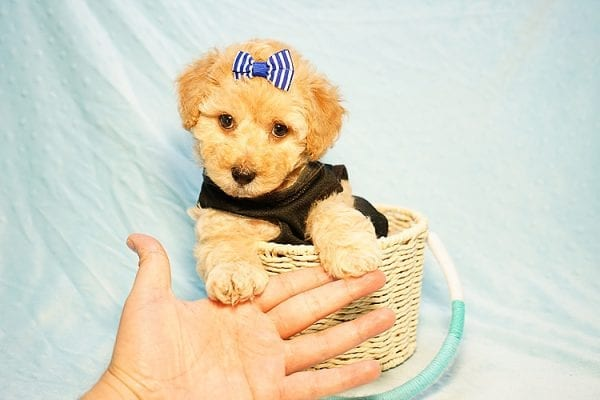 Cinamon Roll - Toy Maltipoo Puppy Found His New Loving Home with Saloni from Los Angeles CA 90010-23779