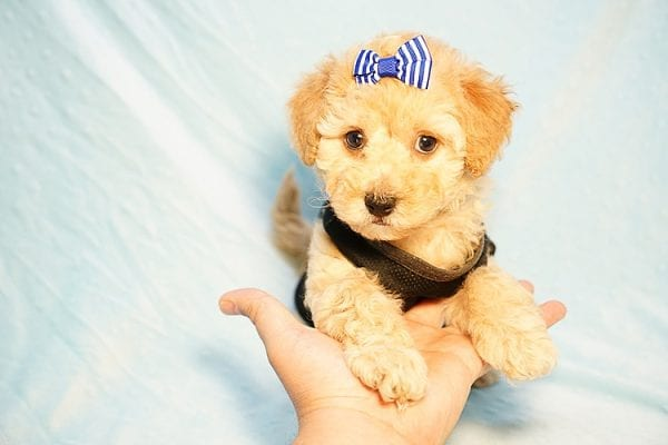 Cinamon Roll - Toy Maltipoo Puppy Found His New Loving Home with Saloni from Los Angeles CA 90010-23777